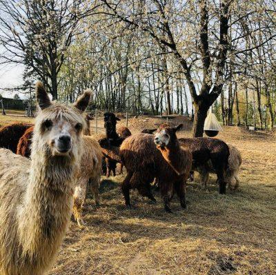 Kunznickel Alpakas Suri Zucht Und Wandern Mit Alpakas